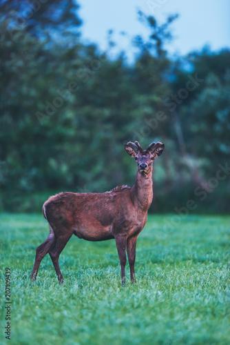 Young red deer buck in spring landscape at dusk.