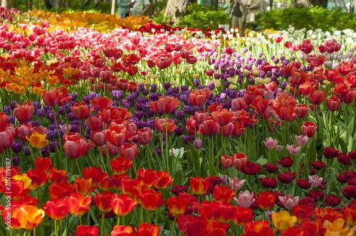Fotobehang Tulpen Colorful tulips in a park during tulip festival in Saint Petersburg
