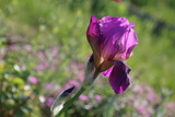 Beautiful purple iris flower