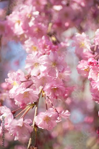 Fotobehang Kyoto 京都円山公園の桜