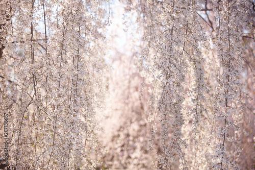 Aluminium Kyoto 京都円山公園の枝垂れ桜
