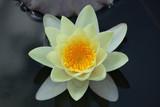 Seerose in gelb - 207140253