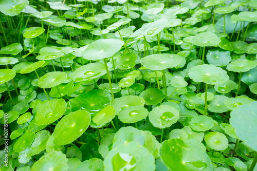 Leinwanddruck Bild Asiatic pennyworth Asiatic Leaves Background Use Nature Background Asiatic Leaves Herb Centennial Asiatics Used as the elixir Has inhibited or slowed the growth of cancer cells Help prevent cancer