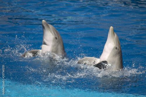 Aluminium Dolfijn delfines haciendo acrobacias y juegos en la piscina