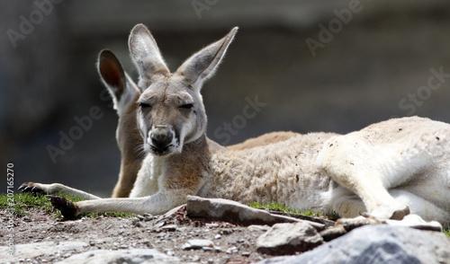 Plexiglas Kangoeroe kangourou