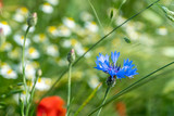 Blue cornflower in a meadow