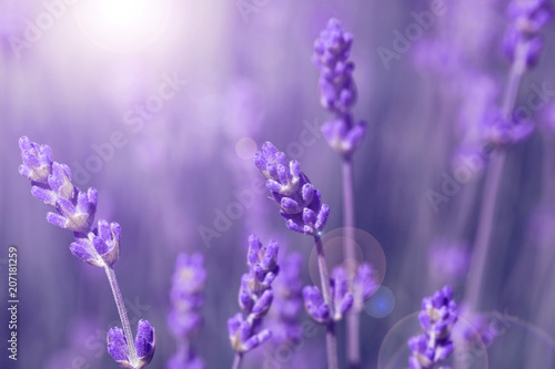 field lavender morning - 207181259
