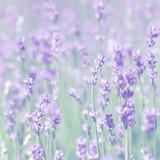 field lavender morning - 207181449