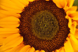 Bright florall background sunflower yellow and green in macro.