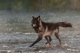Black Phase Grey Wolf (Canis lupus) Trots Left in River - 207192494