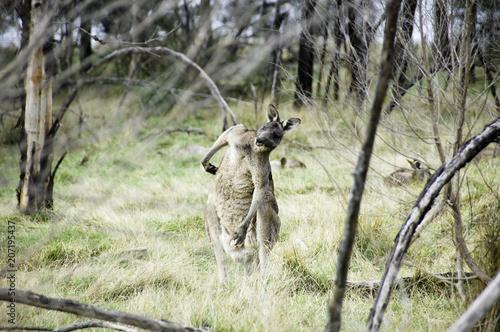 Plexiglas Kangoeroe a kangaroo in australia is posing