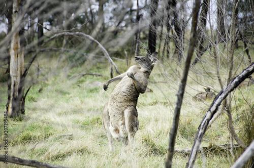 Aluminium Kangoeroe a kangaroo in australia is posing