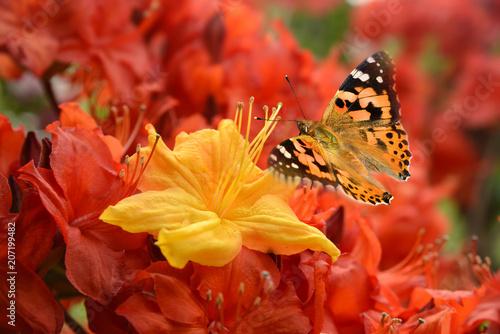 In de dag Azalea Schmetterling 498