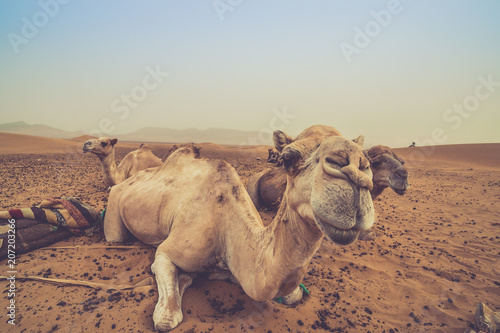 Canvas Kameel camels resting in the desert of sahara, merzouga, Morocco