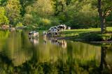 Cows in River Dee outside Llangollen in Wales - 207206218