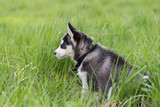 Cute beautiful husky puppy dog sits outdoors in grass. Portrait in profile