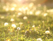 A blurred background from grass and dandelions in the spring.