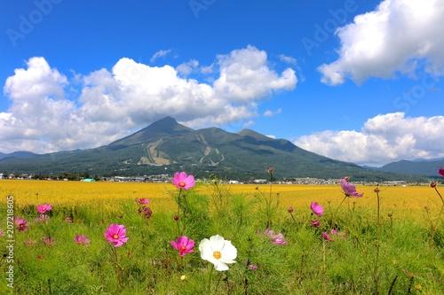 コスモスと磐梯山(福島県・猪苗代町) - 207218605