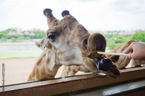 Poster Giraffe closeup, Animal long neck, feeding giraffe