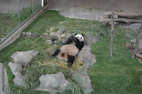Fotobehang Panda アドベンチャーワールドのパンダ