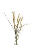 Dry wheat ears, grain isolated on white, with clipping path - 207235278