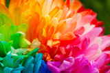 Multicolored petals of chrysanthemum. Painted chrysanthemum under the sun. Macro. Colorful and bright flowers in spring and summer. - 207241666