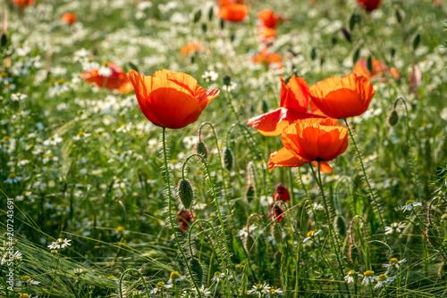 Rote blühende Wiese mit Mohnblumen und Gänseblümchen