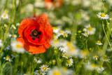 Mohn Blume, wunderschöne Wildwiese