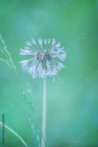 Wet white fluffy dandelion after rain. An artistic photo with a very soft focus and colors.