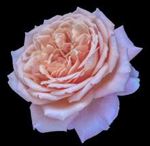 Pastel Colored Fine Art Still Life Floral Macro Flower Image Of A Single  Orange Pink Violet Flowering Blooming Rose Blossom On Black   Detailed Texture Sticker