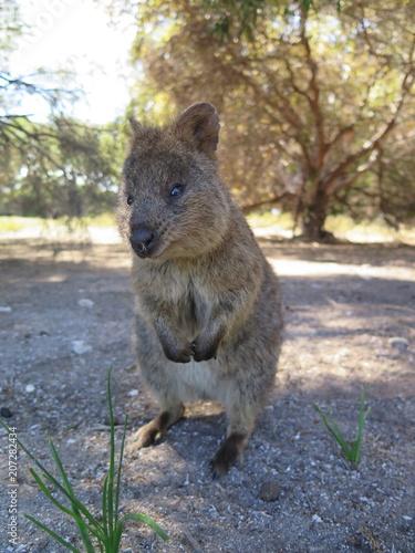 Aluminium Kangoeroe Happiest animal on earth-Quokka-Setonix brachyurus at Rottnest Island, Western Australia