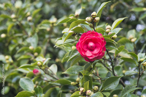 Foto Murales Red camellia in the tree