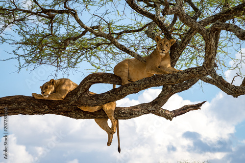 Fotobehang Lion Sleeping and relaxing lions in a tree