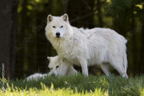 Fototapeta Arctic wolves (Canis lupus arctos) closeup in spring in Canada