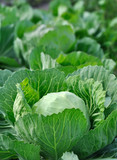 close-up of organically cultivated cabbage plantation in the vegetable garden,vertical composition