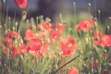 Feld mit Mohnblumen, Sommer - 207300004
