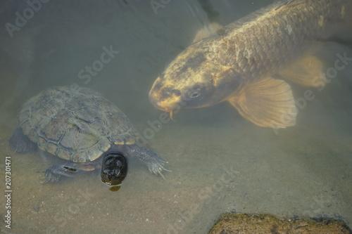 Aluminium Schildpad カメと鯉