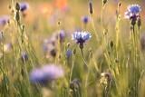 Cornflower in the field at dusk