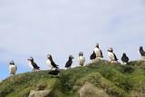 Puffins in Faroe Islands
