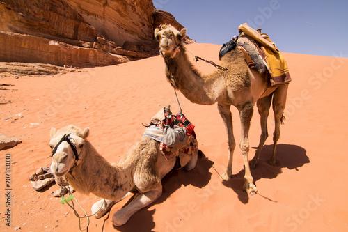 Fotobehang Kameel Camels at Wadi Rum (Jordan)