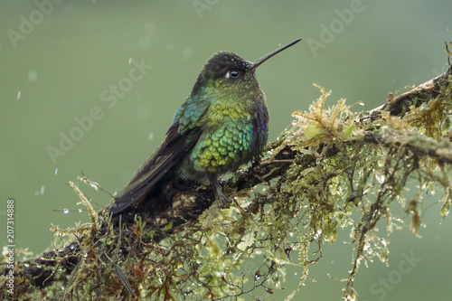 Fiery Throated Hummingbird perched in the rain