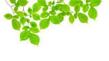Branch with green leaves on a white - 207317079