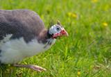 Guinea fowl strutting around on grass - 207325440