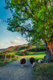 Sheeps on footpath in the Lake District at sunset, England - 207328271