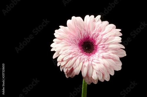Fotobehang Gerbera gerbera pink on black background
