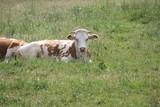 weiß-rotbraune Kuh