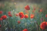 Poppy meadow in morning Light - 207333287