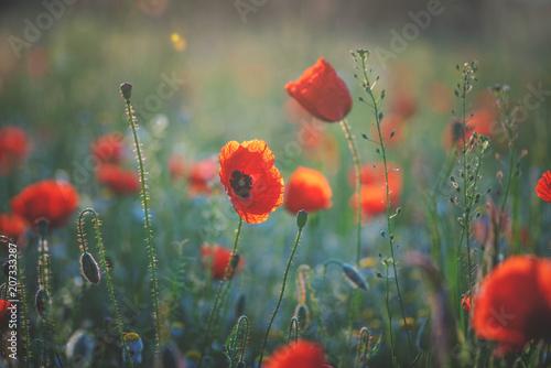 Poppy meadow in morning Light