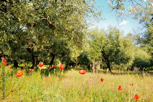 Sunny olive trees field with poppies in the foreground and a blue sky. The picture has been taken lied on the floor.