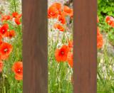 Roter Klatschmohn am Gartenzaun